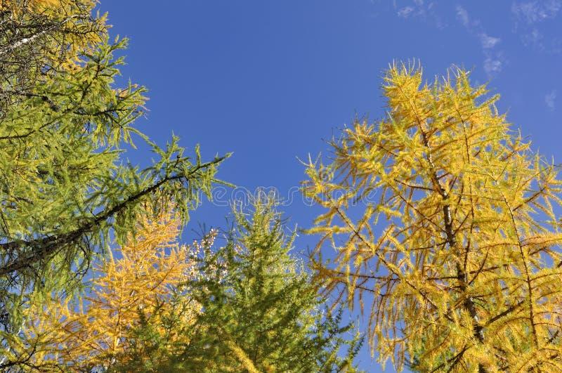 Alerces amarillos hermosos en otoño en fondo del cielo azul imágenes de archivo libres de regalías