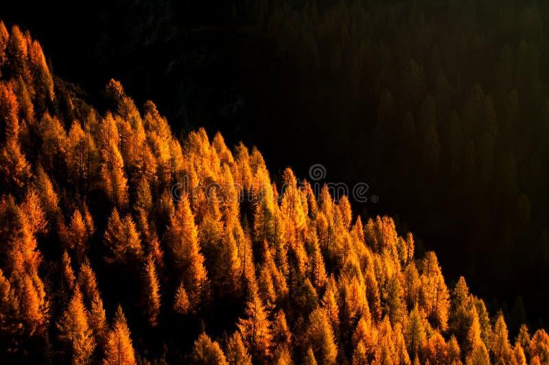 Alerces en otoño imagen de archivo libre de regalías