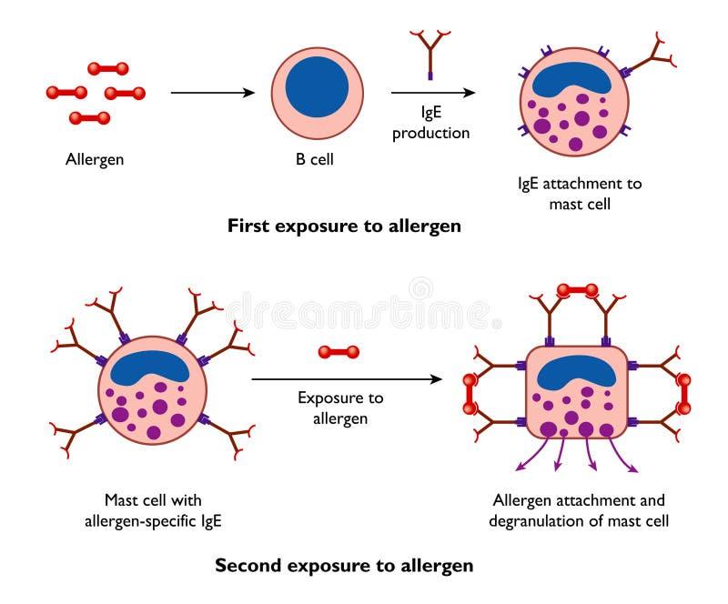 alergii komórek maszt