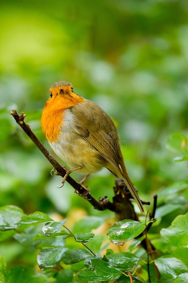 An alert adult Robin redbreast. A photo of an alert Robin redbreast looking into the camera while sitting on a branch royalty free stock photos