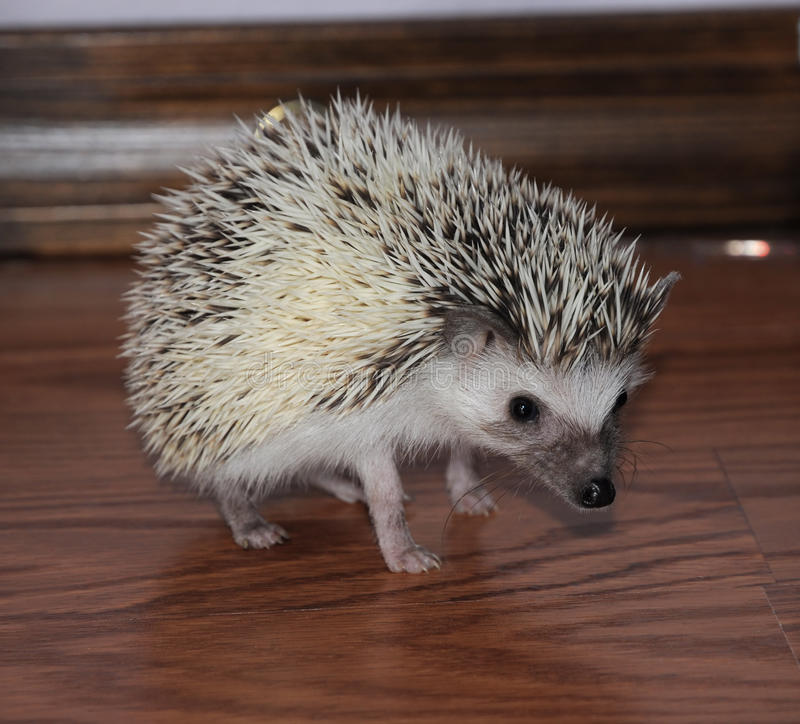 Download Alert African Pigmy Hedgehog Stock Photo - Image: 12700410