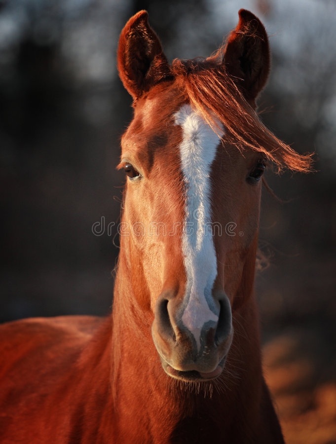 Alert Arabian Stallion stock photography