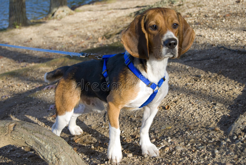 Alert beagle royalty free stock photos