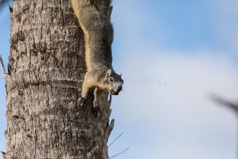 Alert big cypress fox squirrel Sciurus niger avicennia gathers nuts. On a tree branch in summer in Naples, Florida stock photo