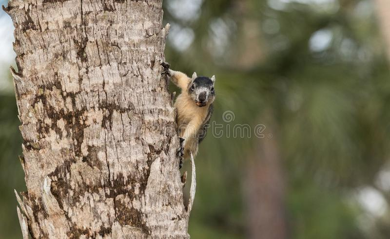 Alert big cypress fox squirrel Sciurus niger avicennia gathers nuts. On a tree branch in summer in Naples, Florida stock image