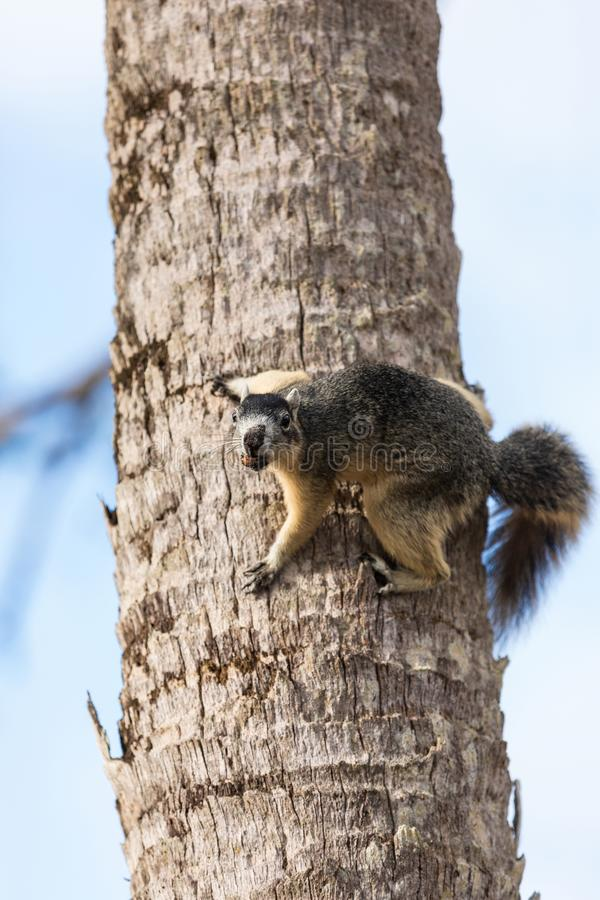 Alert big cypress fox squirrel Sciurus niger avicennia gathers nuts. On a tree branch in summer in Naples, Florida stock photography