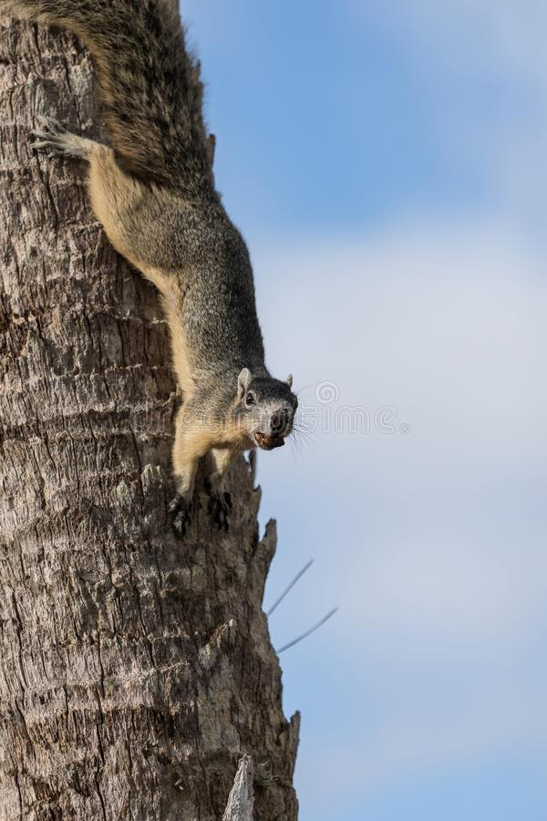 Alert big cypress fox squirrel Sciurus niger avicennia gathers nuts. On a tree branch in summer in Naples, Florida stock images