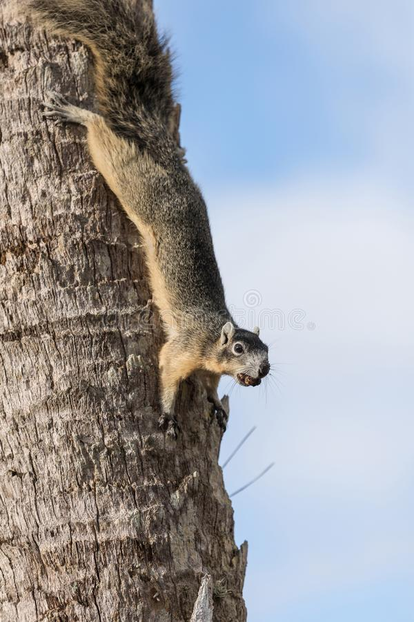 Alert big cypress fox squirrel Sciurus niger avicennia gathers nuts. On a tree branch in summer in Naples, Florida royalty free stock photography