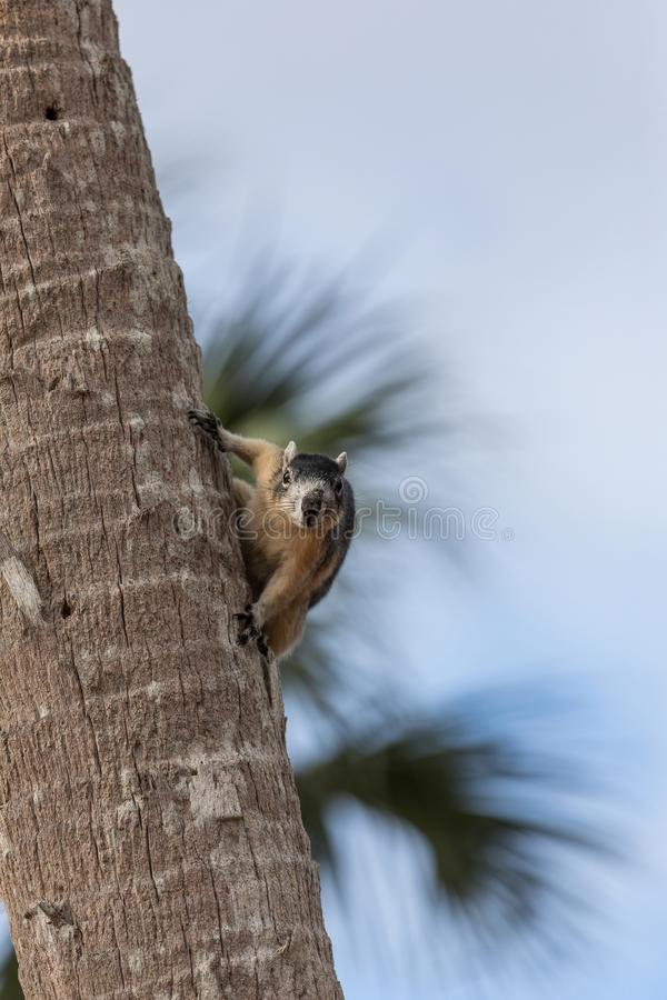 Alert big cypress fox squirrel Sciurus niger avicennia gathers nuts. On a tree branch in summer in Naples, Florida royalty free stock images