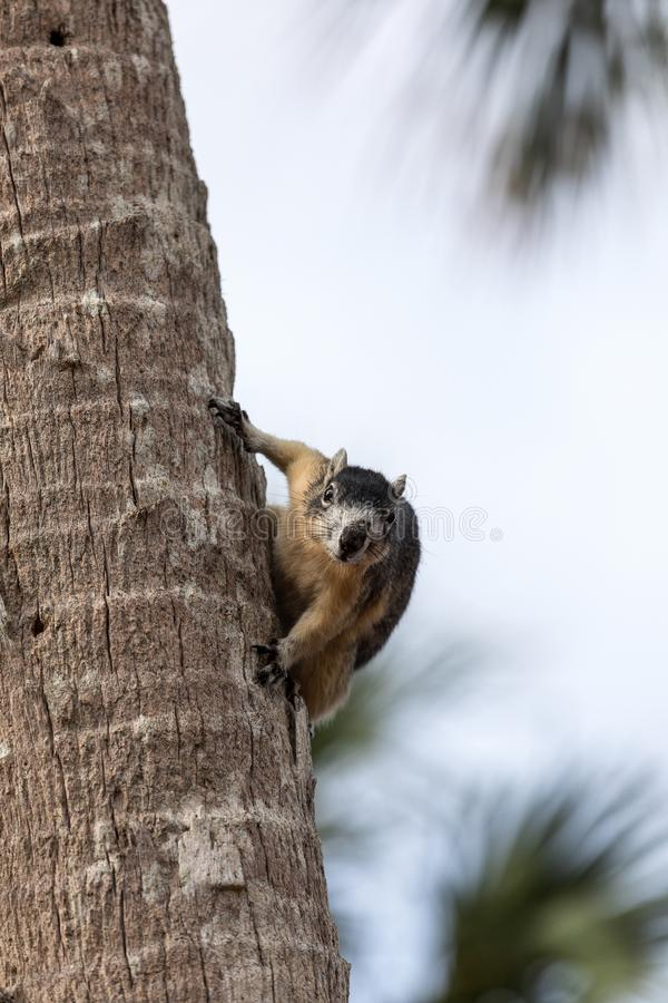 Alert big cypress fox squirrel Sciurus niger avicennia gathers nuts. On a tree branch in summer in Naples, Florida royalty free stock photos