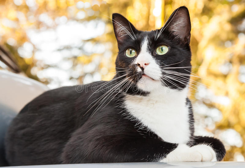 Alert Black and White Cat Sitting on Car Looking Outward stock images