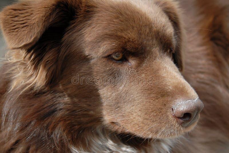 Alert Brown Dog royalty free stock image