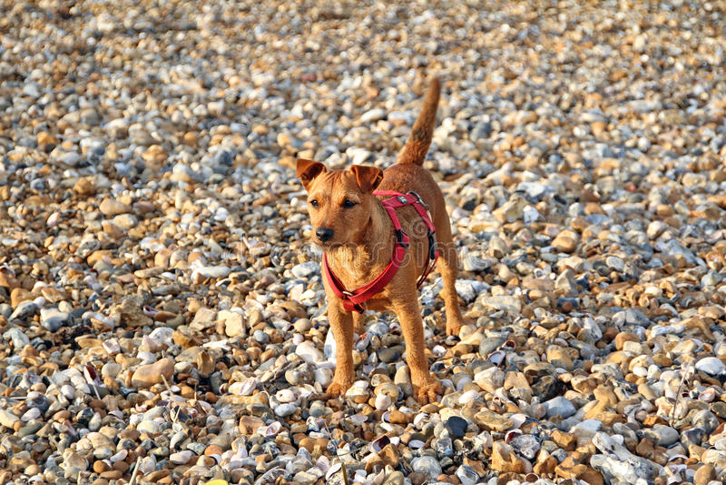 Alert coastal puppy dog royalty free stock image