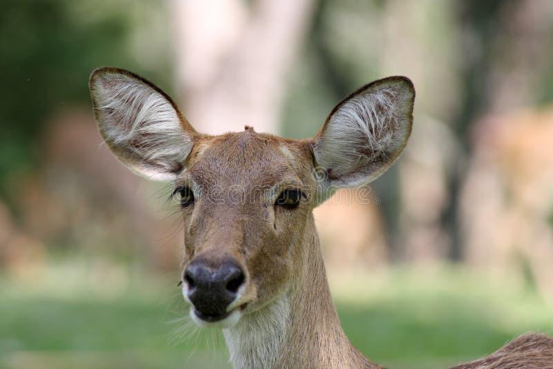 Alert deer. An alert herd of Eld's deer in Thailand royalty free stock photography