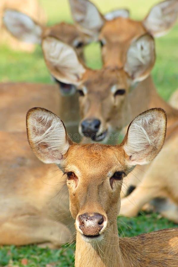 Alert deer. An alert herd of Eld's deer in Thailand stock photography