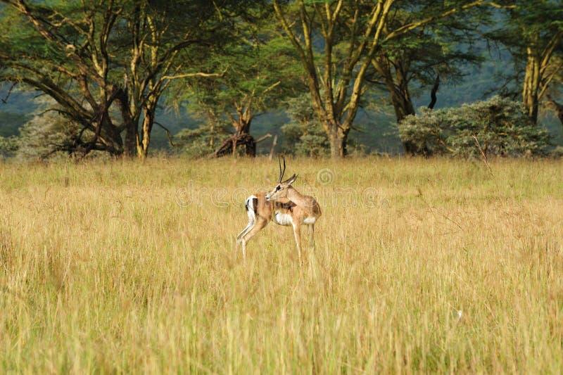 Alert deer. An alert Beautiful deer in Kenya stock photos