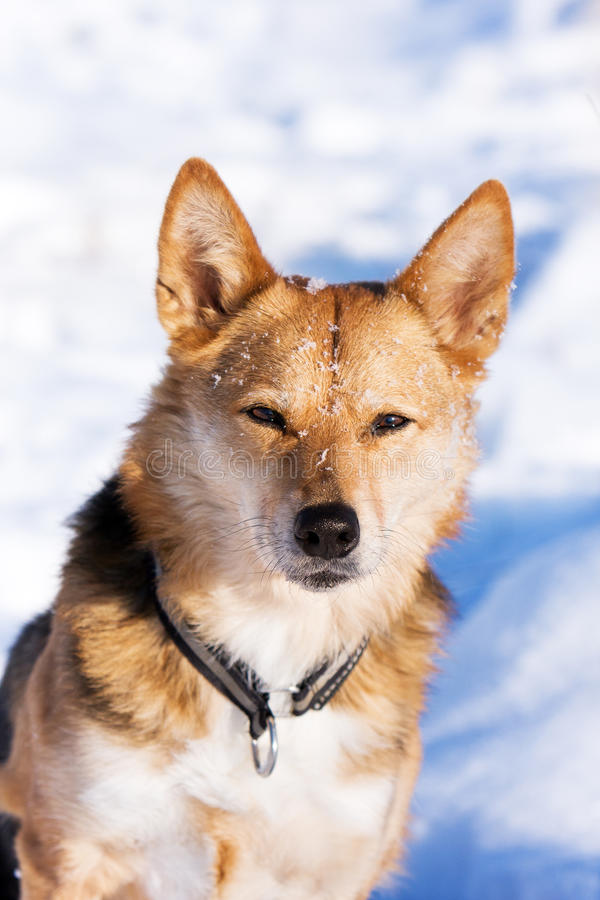Alert dog in the snow stock image