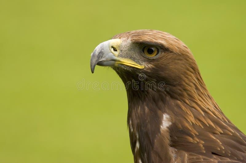 Alert Eagle. This superb Golen Eagle was captured in the UK stock image