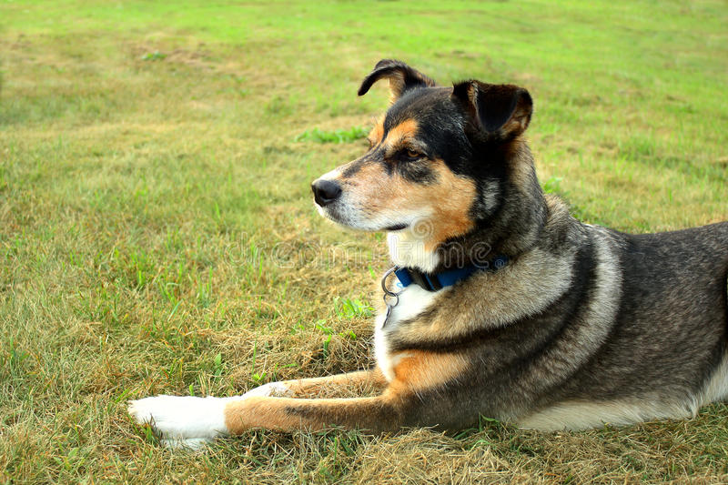 Alert German Shepherd Mix Dog. A young, black and tan German Shepherd Border Collie Mix Breed dog is laying outside in the grass, with ears alert royalty free stock images