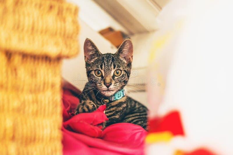Alert gray tabby kitten lying on red pillow stock photo