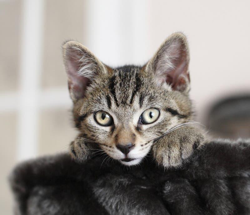 Alert kitten cat. Alert cute tabby kitten looking out of cat bed royalty free stock photo