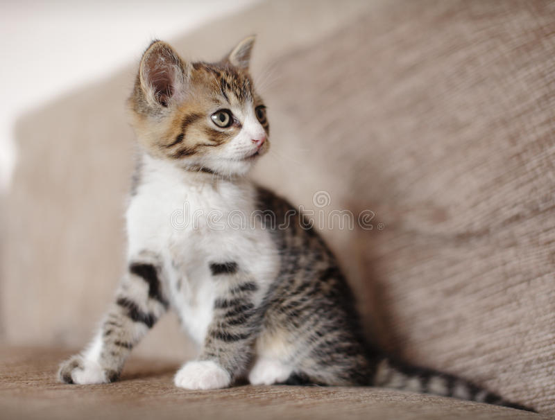 Alert kitten cat. On couch royalty free stock image