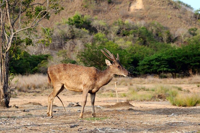 Alert Komodo deer. A Flores rusa deer is alert in the Komodo national park (Rusa floresiensis / Komodo deer/ Flores rusa deer royalty free stock photography
