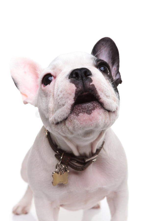 Alert little french bulldog puppy barking. To someone on white background stock images