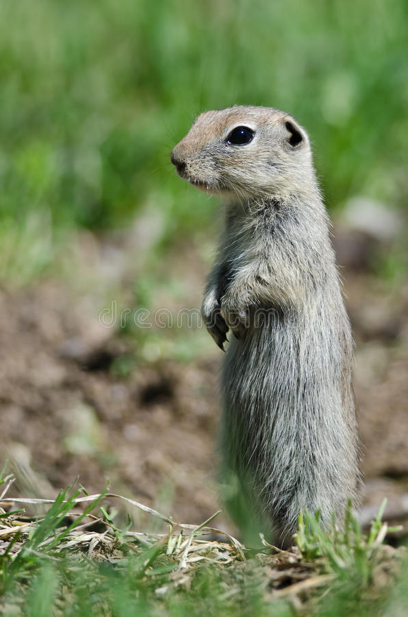 Free Alert Little Ground Squirrel Standing Guard Over Its Home Royalty Free Stock Photography - 75768557