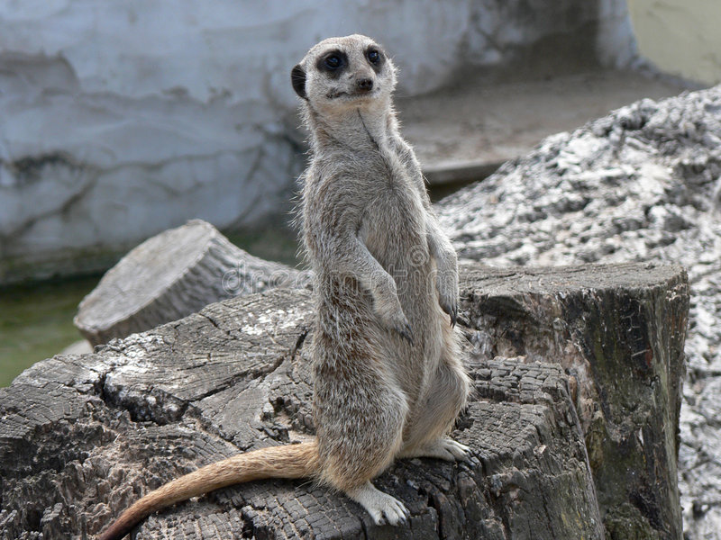 Alert Meerkat. Naturally comic looking and ever alert - a Meerkat standing watch. (Meerkat or Suricates, suricata suricatta, a member of the Mongoose family stock photos