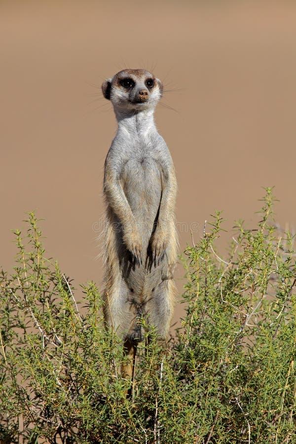 Free Alert Meerkat, South Africa Stock Photos - 14282453
