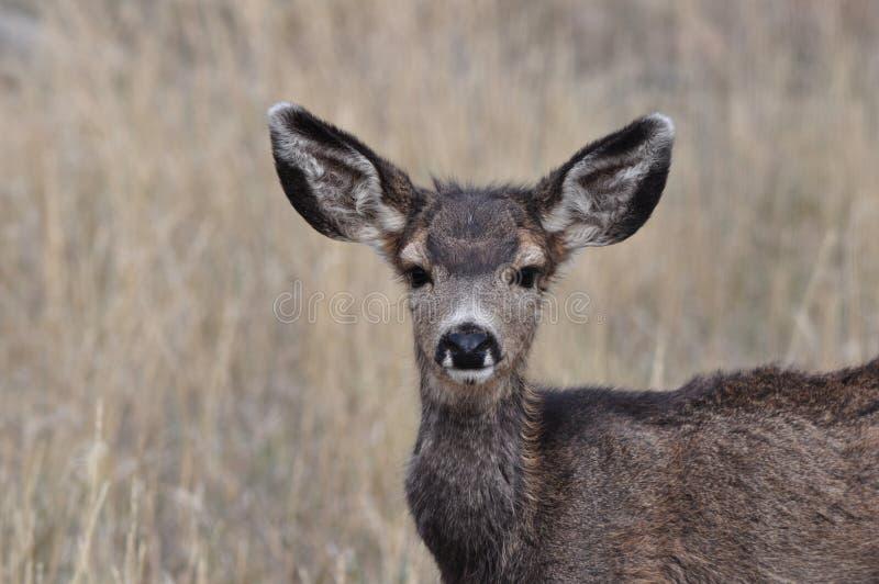 Alert Mule Deer Fawn. In Hay Field royalty free stock images