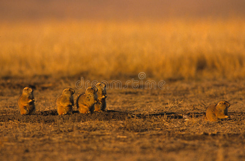 Alert Prairie Dogs royalty free stock photography