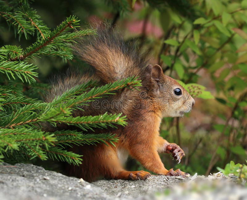 Alert red squirrel in the forest stock photos