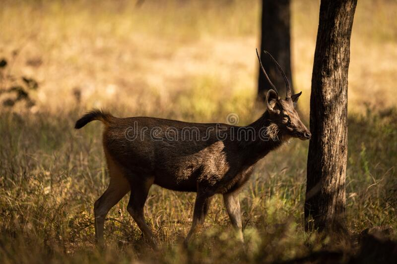 Alert Sambar deer or rusa unicolor in forest. side profile of sambar deer with tail up in beautiful winter light. And in green background at ranthambore stock photos