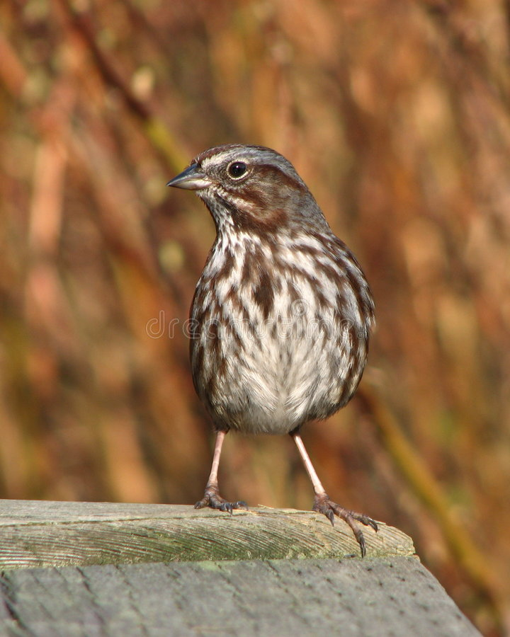 Alert song sparrow stock images