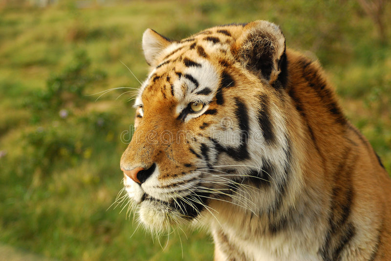 Alert tiger royalty free stock image