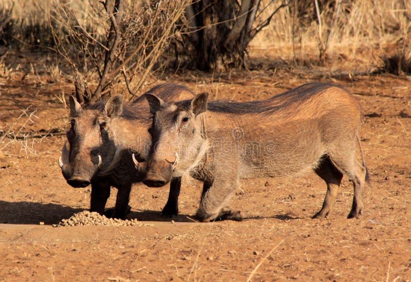 Download Alert Warthogs Eating Pellets Stock Photo - Image: 26165670