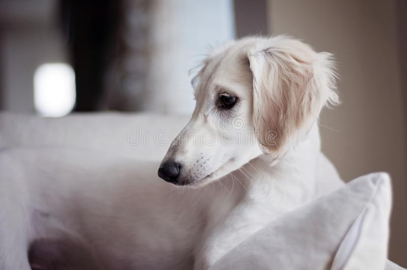 An alert white floppy eared saluki puppy relaxed on a sofa. In Finland stock photo