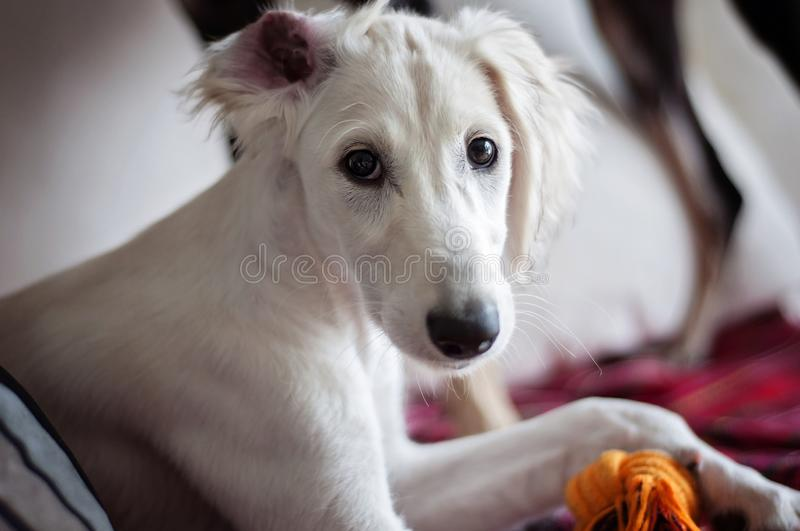An alert white floppy eared saluki puppy relaxed on a sofa, an ear on a wrong way around.  stock photos