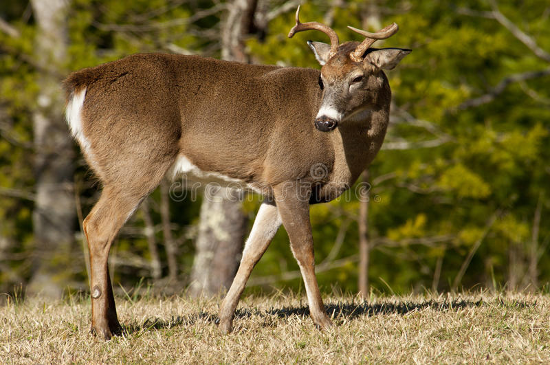 Alert White tailed Buck in The Great Smoky Mountains. royalty free stock image