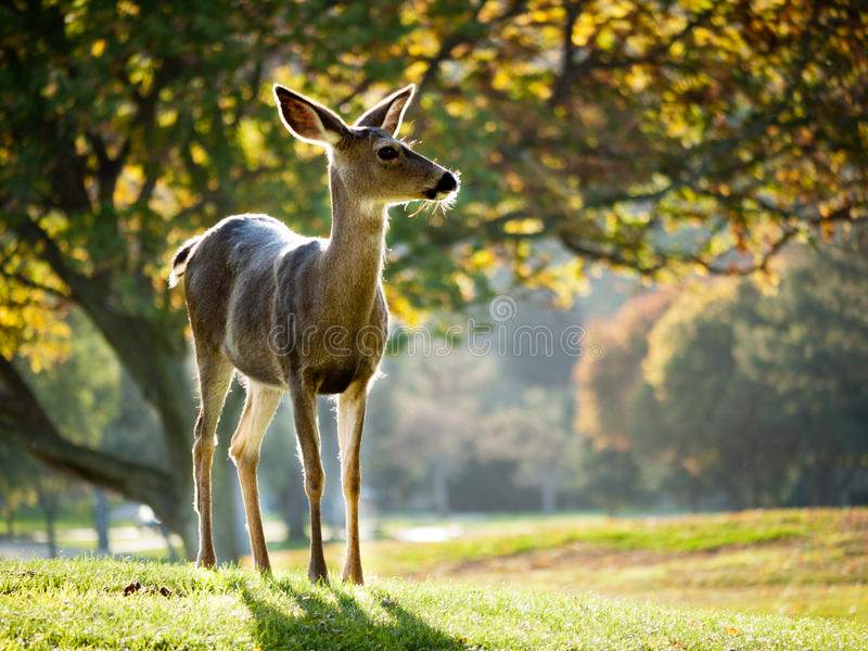 Alert Whitetail deer. Alert deer grazing the green grass, large trees in the background royalty free stock photography