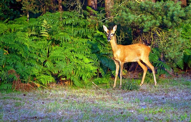 Alert Young Deer. Very alert young deer at Avon Heath near Ringwood UK stock images