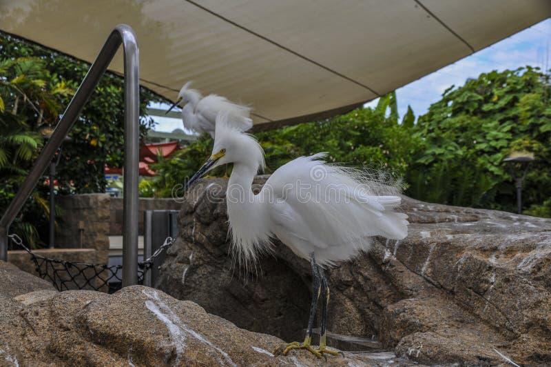 Alerta dos Egrets nevado para partes de peixes dispersas foto de stock