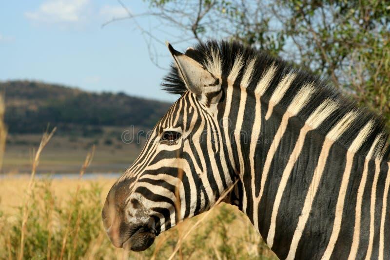 Alerta - zebra de montanha fotografia de stock