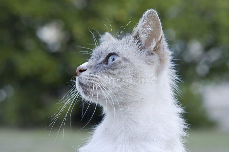 Alertar al gato doméstico de tipo persa o siamés con los ojos azules y los whiskys blancos mirando hacia la izquierda imagen de archivo libre de regalías