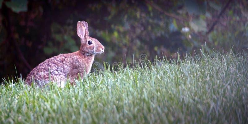 Alerte de Bunny Rabbit dans le pré image stock