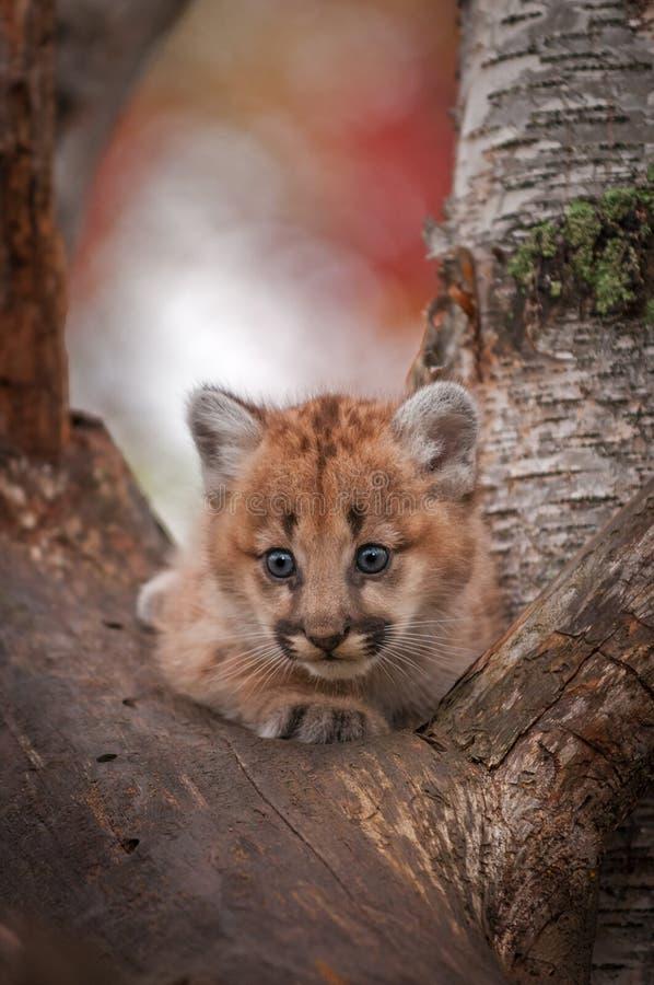 Alerte femelle de concolor de Kitten Puma de puma dans l'arbre photo stock