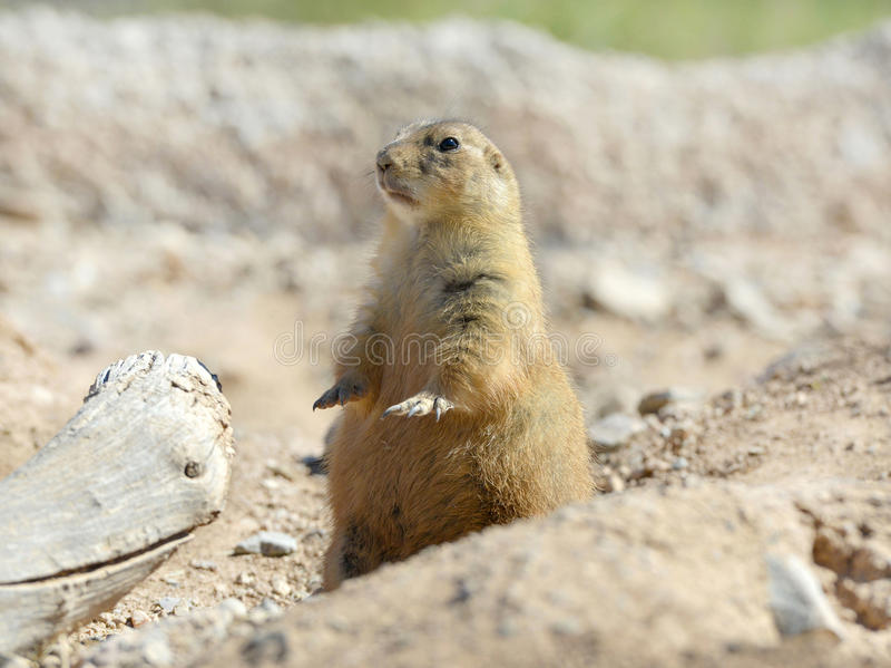 Alerte se reposante américaine de crabot de prairie à l'attention, Phoenix, arizon photographie stock libre de droits