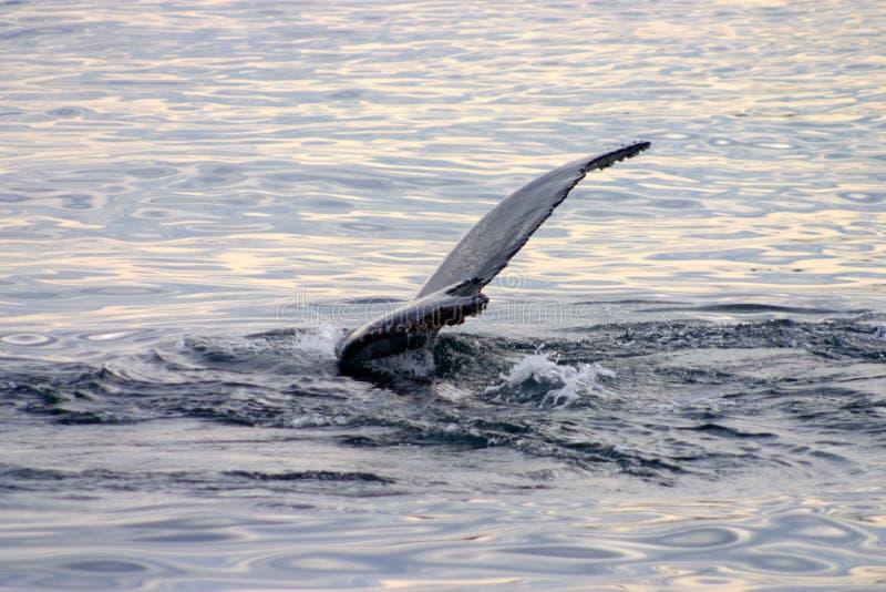 Aleta de cola de una ballena gris en Atlántico foto de archivo